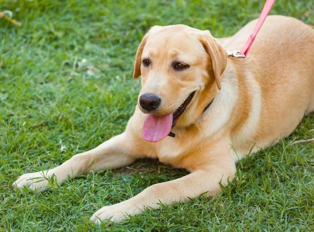 Labrador op vers groen gras