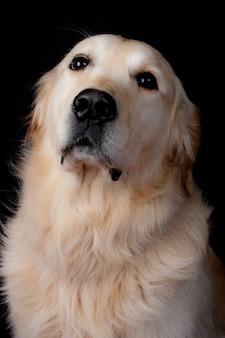 Labrador op zwarte