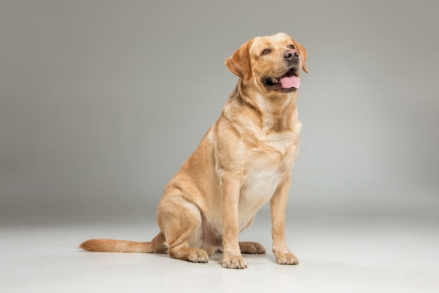 Labrador ophalen