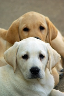 Labrador puppies hond