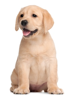 Labrador puppy, 7 weken oud,