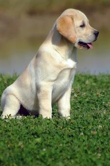 Labrador puppy hondje
