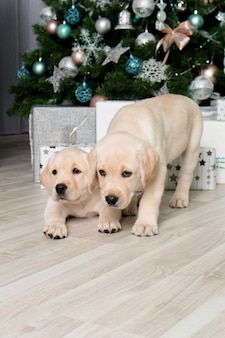 Labrador puppy's naast cadeaus onder de kerstboom