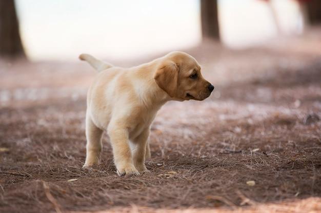 Labrador puppy wandelen in de jungle