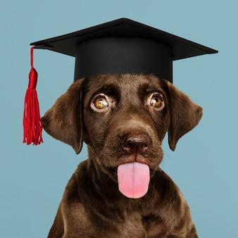 Labrador puppy zijn afstuderen