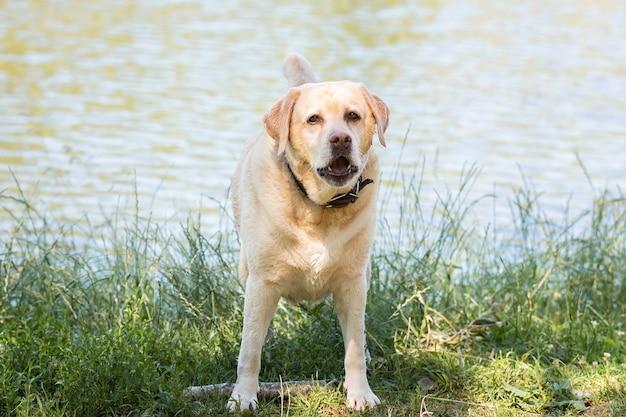 Labrador retriever-hond. jachthond in de buurt van het meer.