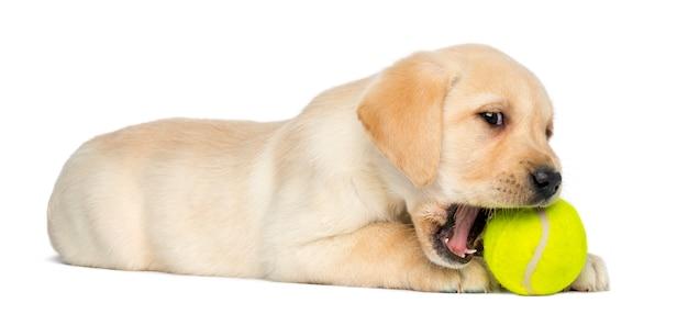 Labrador retriever-puppy die en een tennis liggen kauwen