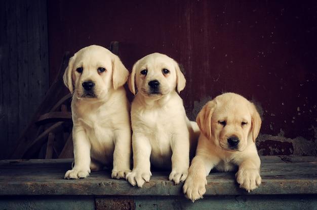 Labrador retriever puppy hondje