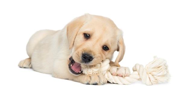 Labrador retriever puppy liggen en kauwen op een touw