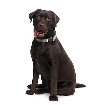 Labrador retriever voor een witte muur