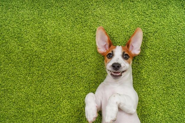Lachend puppy dat op een groen tapijt ligt.