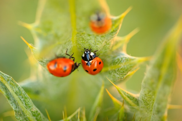 Lady bugs on a thistle leafy