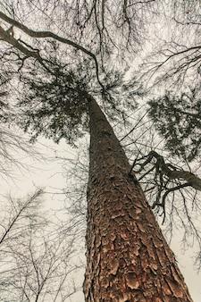 Lage hoek die van een enorme pijnboomboom in het bos is ontsproten