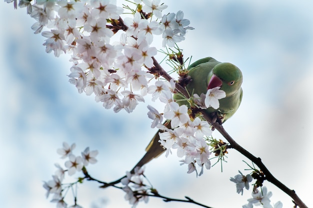 Lage hoek die van een groene papegaai is ontsproten die op een tak van kersenbloesem rust