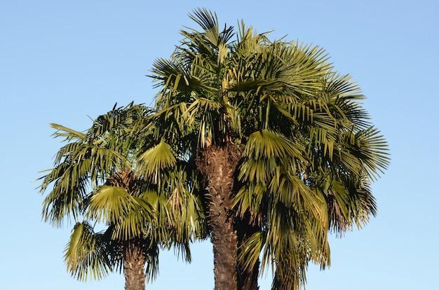Lage hoek die van een grote palmboom is ontsproten met het heldere blauw
