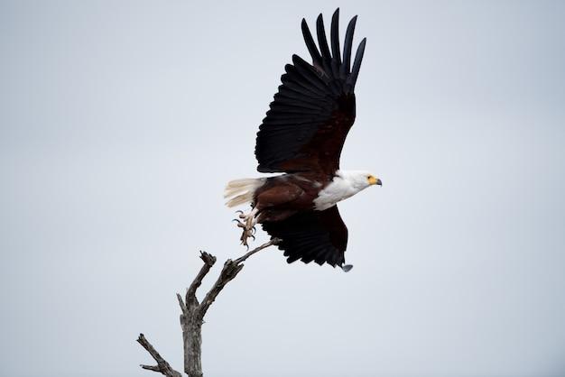 Lage hoek die van een mooie adelaar is ontsproten die in de lucht vliegt
