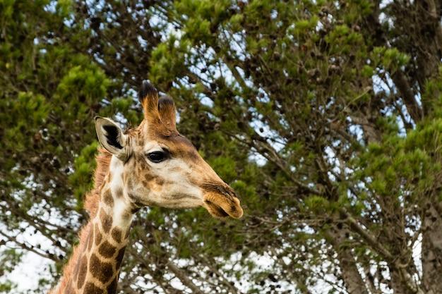 Lage hoek die van een mooie giraf is ontsproten die zich voor de mooie bomen bevindt