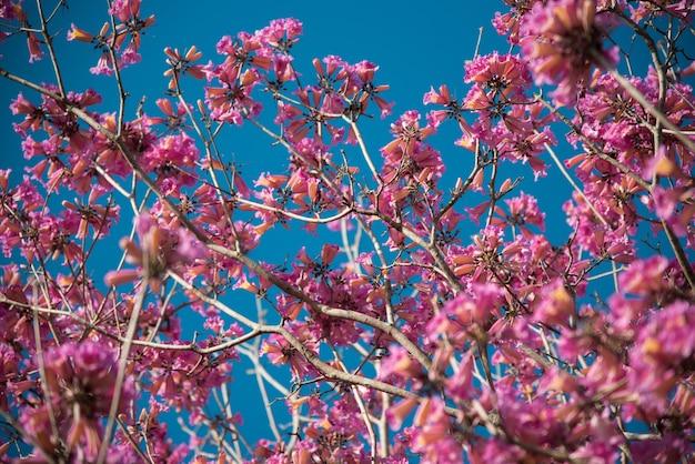 Lage hoek die van een mooie kersenbloesem is ontsproten met een heldere blauwe hemel