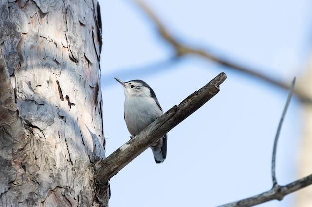 Lage hoek die van een mooie vogel met witte borstvoeding is ontsproten die op de tak van een boom rust