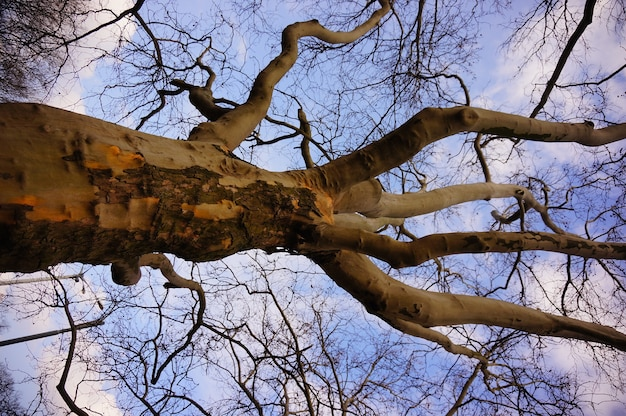 Lage hoek die van een oude bladloze boom is ontsproten onder een mooie bewolkte hemel