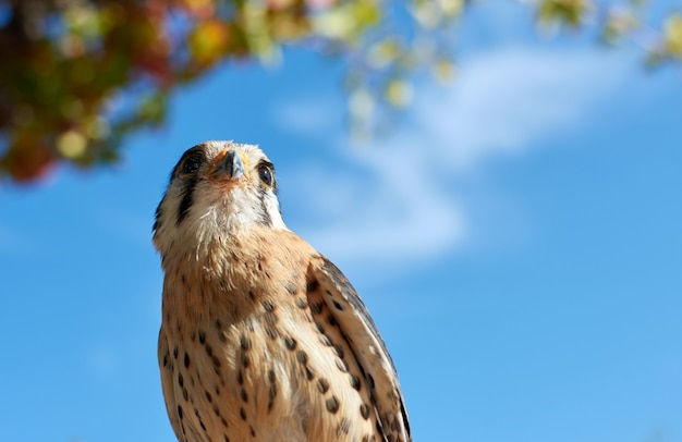 Lage hoek die van een pluizige amerikaanse torenvalkvogel is ontsproten die op een tak wordt neergestreken