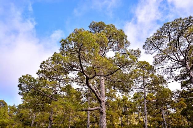 Lage hoek die van enorme pijnbomen in het bos met een duidelijke blauwe hemel is ontsproten