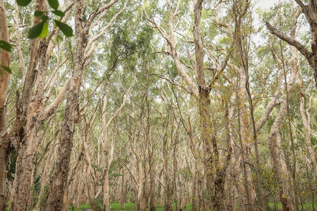 Lage hoek die van half kale hoge bomen in een bos is ontsproten