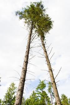 Lage hoek die van twee hoge bomen in een witte bewolkte hemel op de achtergrond is ontsproten