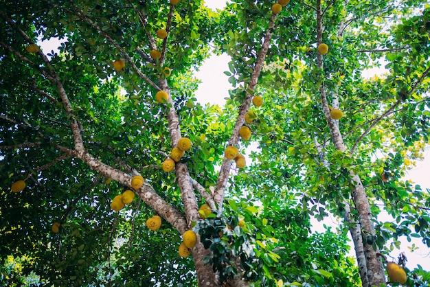 Lage hoek gezien jackfruit opknoping op boom