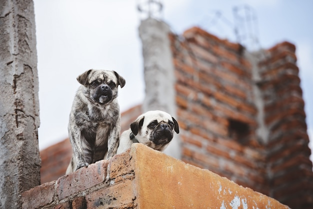 Lage hoekclose-up die van twee leuke pugs op de muur is ontsproten terwijl neer het kijken