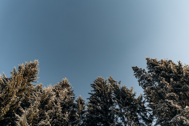 Lage hoekmening van de wintersparren en het dennenbos op de blauwe hemelachtergrond. pittoreske reizen, wandelen, seizoensgebonden, natuur en platteland schoonheid concept achtergrondscène