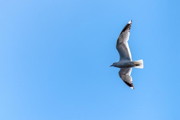 Lage hoekmening van een vliegende californische meeuw onder het zonlicht en een blauwe hemel