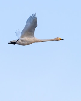 Lage hoekmening van een vliegende wildezwaan onder het zonlicht en een blauwe hemel