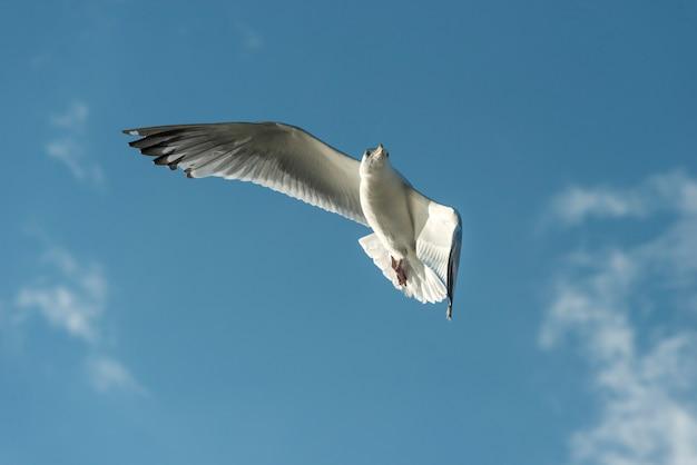 Lage hoekmening van een zeemeeuw die in de hemel, meer van het hout, ontario, canada vliegt