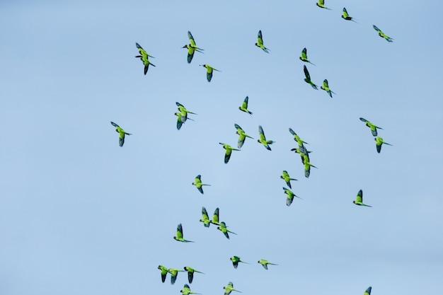Lage hoekmening van een zwerm vogels die overdag in de blauwe hemel vliegen