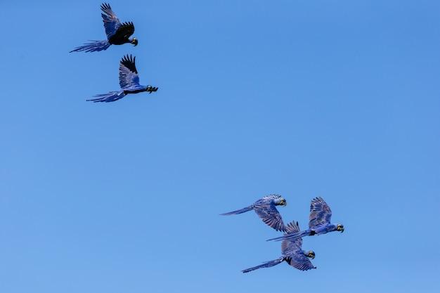 Lage hoekmening van hyacintara's die overdag in de blauwe hemel vliegen