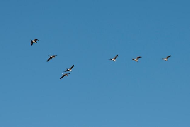 Lage hoekmening van vogels vliegen in de lucht, kenora, lake of the woods, ontario, canada