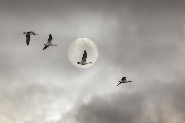Lage hoekopname van eenden die onder een bewolkte hemel en een volle maan vliegen - perfect voor achtergronden