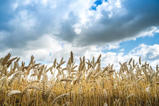 Lage hoekopname van gerstekorrels in het veld onder de bewolkte hemel