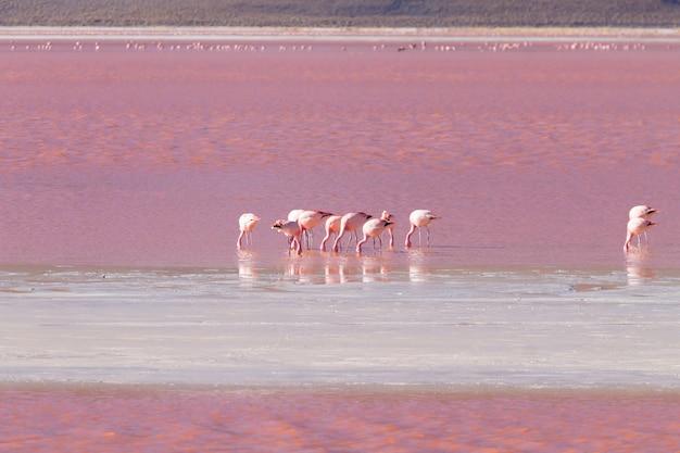 Laguna colorada-flamingo's, bolivië. puna-flamingo. andes dieren in het wild. rode lagune