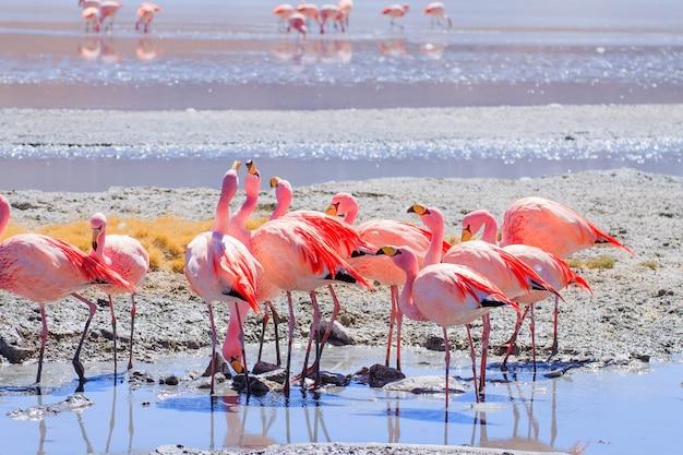 Laguna hedionda-flamingo's, bolivië. andes dieren in het wild. boliviaanse lagune