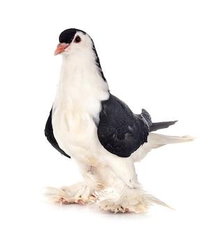 Lahore duif