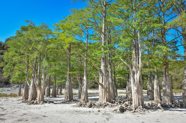 Lake cypress in sukko. attracties van anapa. groen meer. de aard van rusland. een droog meer. cipressen in een droog meer. verandering van het klimaat.