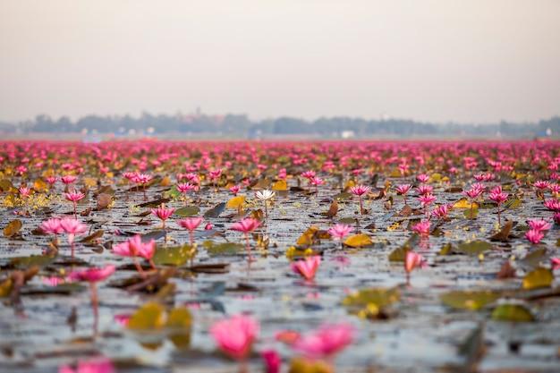 Lake of pink lotus (sea of red lotus thailand)