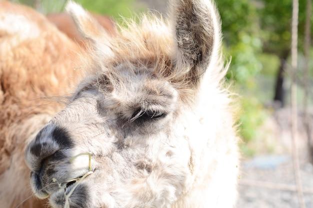 Lama in salta, argentinië.