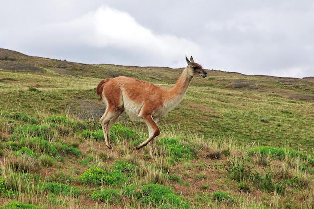 Lama in torres del paine national park, patagonië, chili