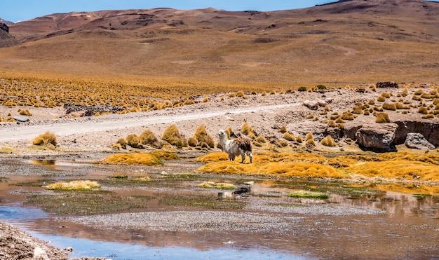 Lama op de achtergrond van lagune landschap in bolivia