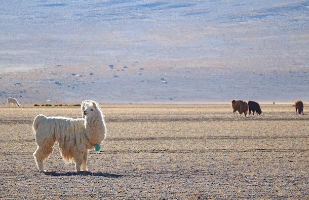 Lama's grazen aan de voet van de andes, het andes-plateau, bolivia, zuid-amerika