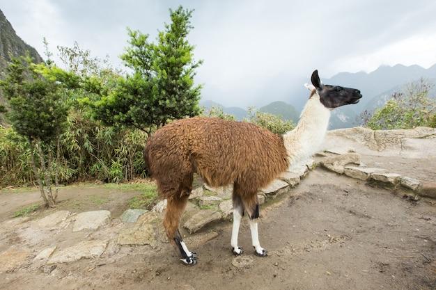 Lama's in andes, bergen, peru