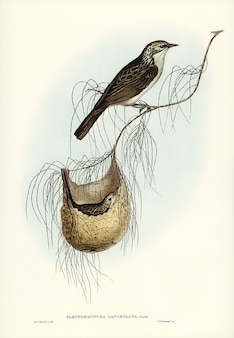 Lanceolate honey-eater (plectorhyncha lanceolata) geïllustreerd door elizabeth gould